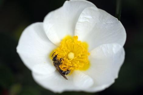 Una abeja sobre una flor de jara.   J. Barbancho