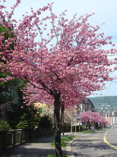 Kirschblüte an der Rotbuchstrasse Zürich