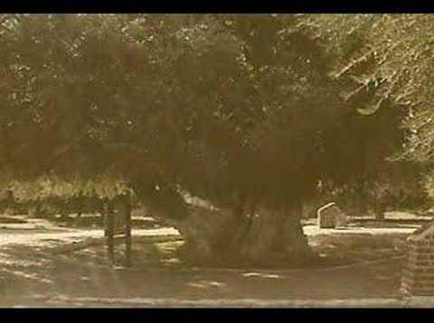 HISTORIA DEL OLIVO CUATRICENTENARIO 2006