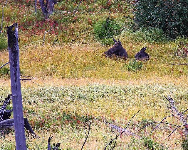 IMG_5145 Moose at Elk Creek