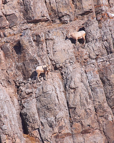 IMG_8946 Bighorn Sheep Downsloping the Cliff
