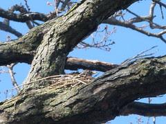 Robin Sitting on her Nest