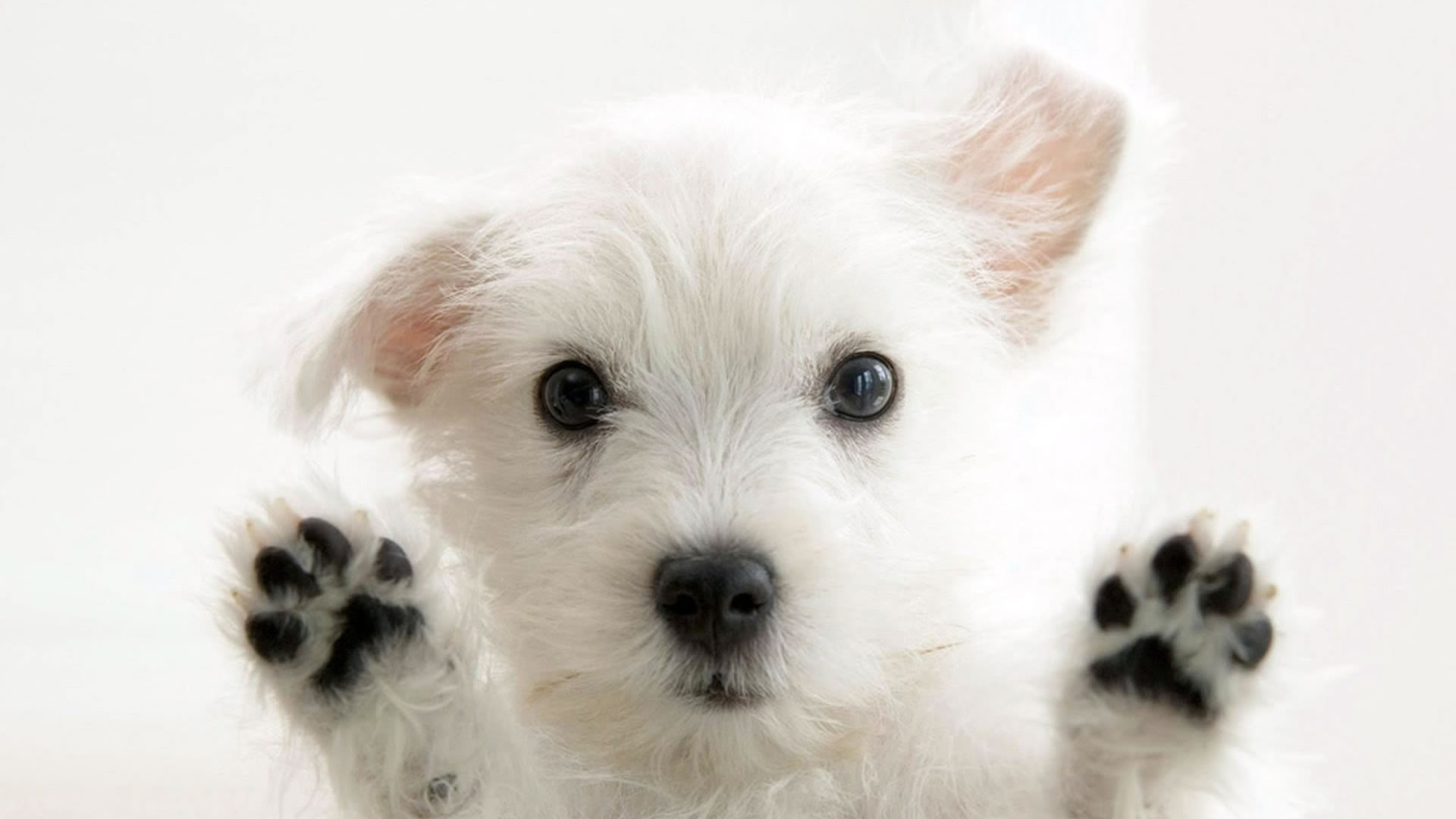Very cute Puppy Wallpaper [1920x1080]