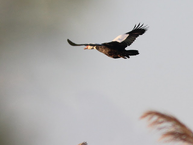 Muscovy Duck in flight 20120118