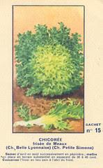 legume15 chicoree
