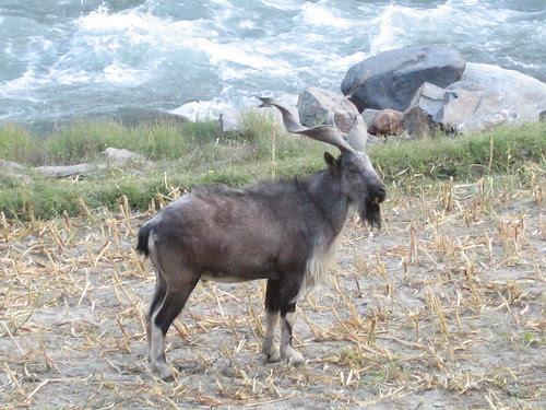 Markhor, Chitral Gol National Park (2)