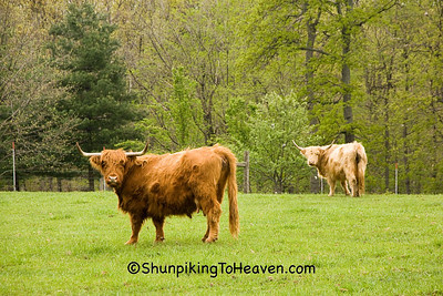 Highland Cattle, Pike County, Ohio