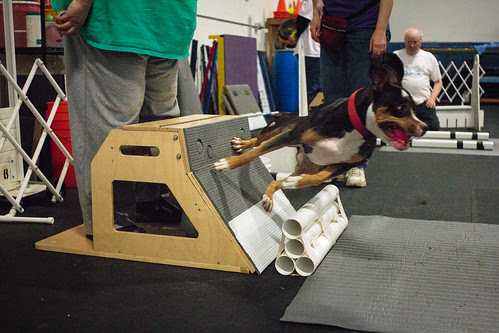 Flyball Practice April 2013-1511