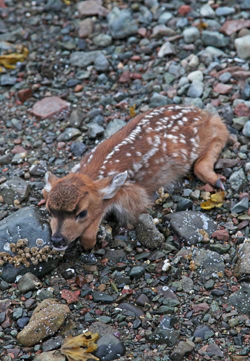 fawn on beach, Kasaan, Alaska