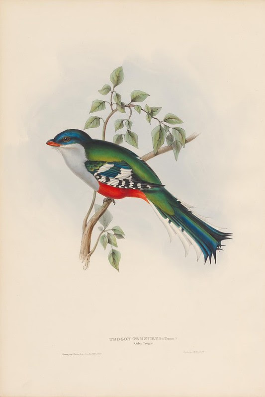 1830s bird lithograph by John Gould