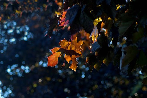 Orillia - Autumn Backlit; autumn leaves from a tree in front of the O'brien Street medical center