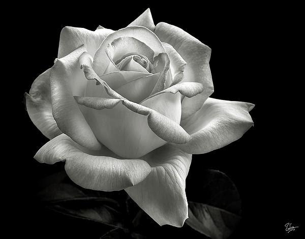 Free Rose Black N White Download Free Clip Art Free Clip Art On