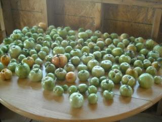 Spring Garden 2010 Fall Tomato Crop on Table