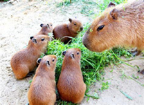 One baby capybara not cute enough for you? Chiba zoo has five?Photos?   SoraNews24