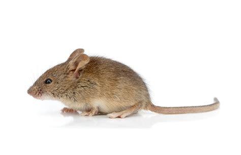 House Mouse   Horizons Pest Control ? Pest Control Service in Birmingham AL