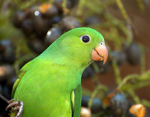 PERIQUITO-RICO ( Brotogeris tirica)