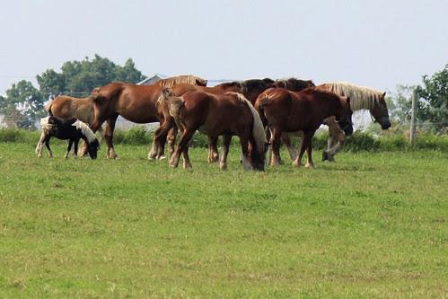 IMG_0361_Pony_Among_Draft_Horses
