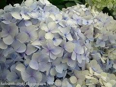 ch - cv lilac hydra