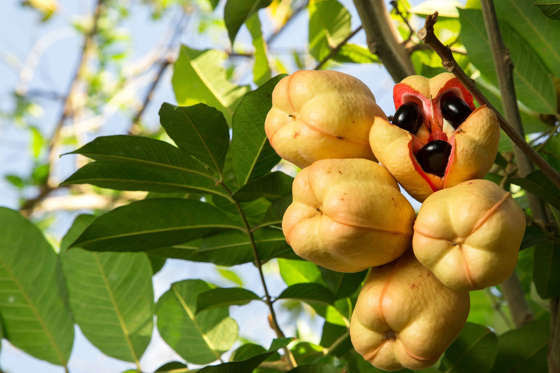 Slide 8 de 18: Loved in Jamaica, ackee fruit must only be eaten when fully ripe and properly prepared. Eat too soon and toxins in the fruit can result in severe vomiting and can even lead to death.