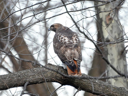 Central Park Adult Red-tail