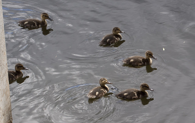 ducklings curious 2
