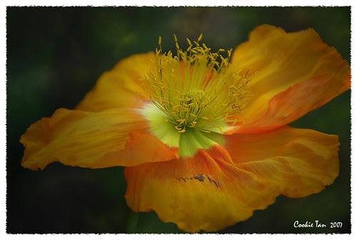 Orange Flower, by cookietan