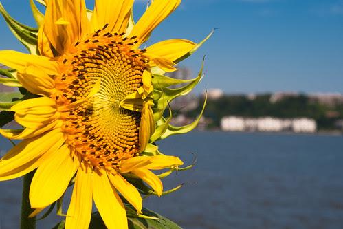 Sunflower on the Hudson