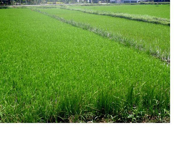 riziere