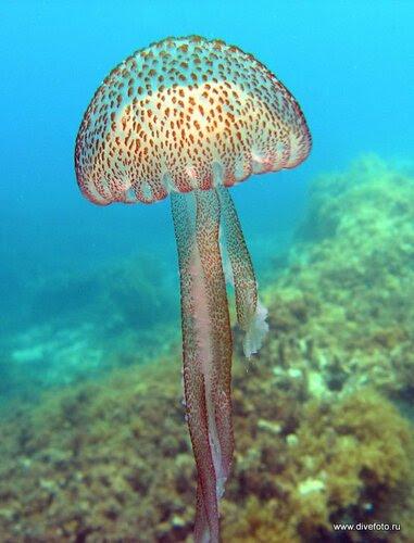 Медуза средиземное море, фото