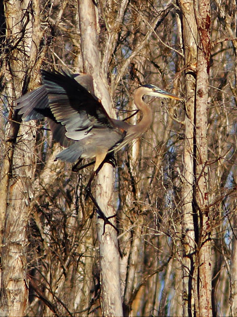 Great Blue Heron vivid 20140118