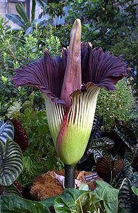 Bunga Bangkai (rafflesia arnoldi)