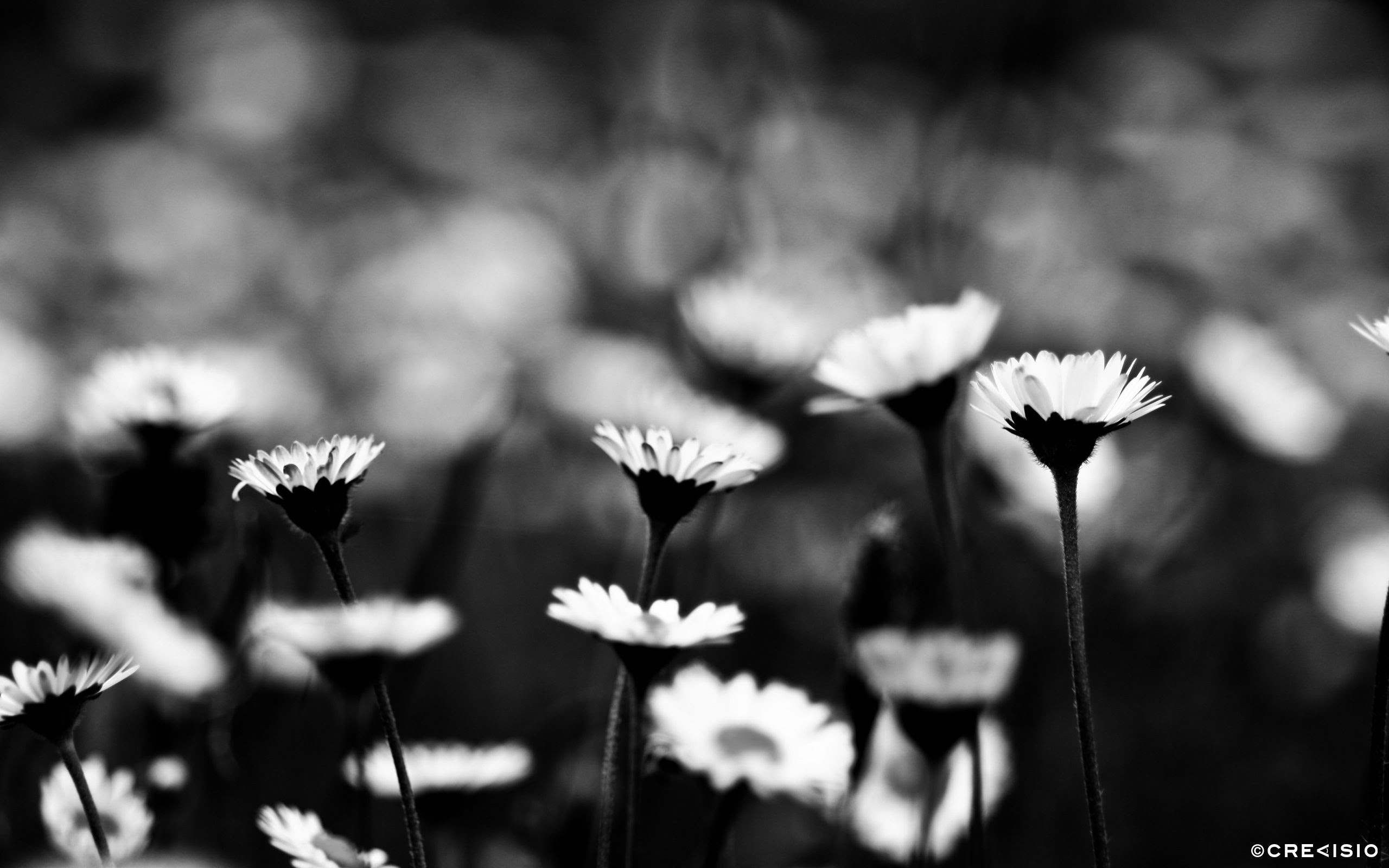 Black White Daisy Field Crevisio Branding Photography Agency