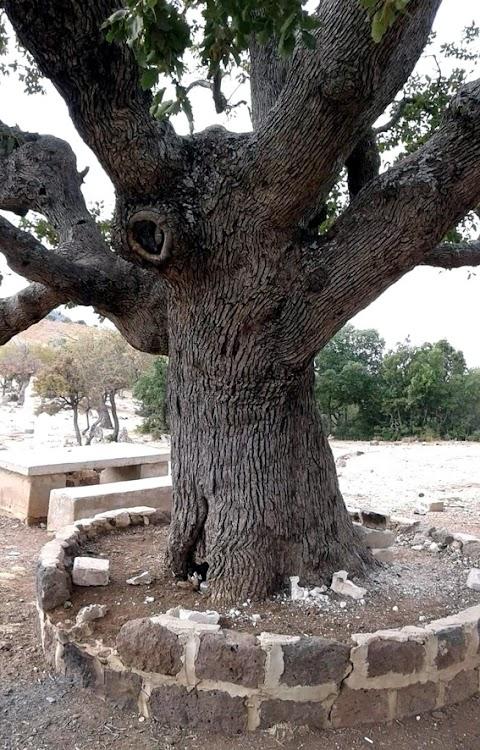 شجر السنديان في دمشق