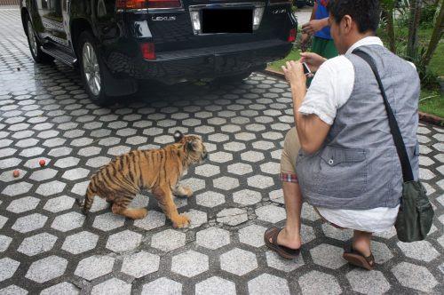 虎の赤ちゃん