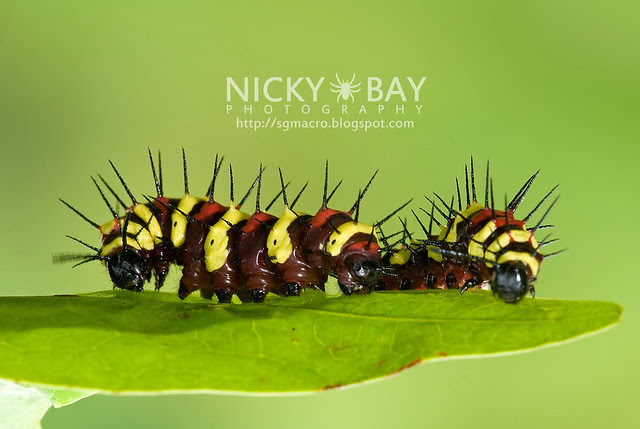 Leopard Lacewing larva (Cethosia cyane) - DSC_0091