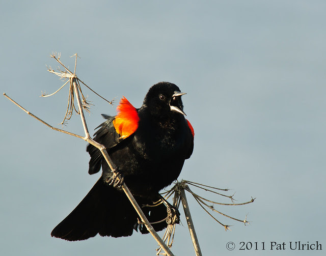Red-winged blackbird calling from the branches - Pat Ulrich Wildlife Photography