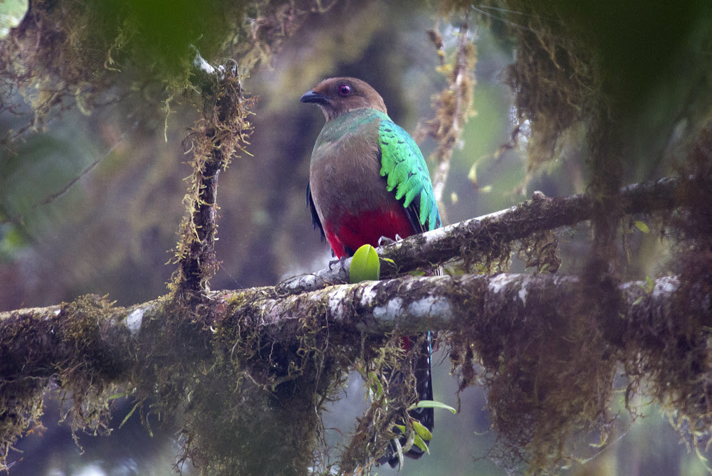 Female Crested Quetzal