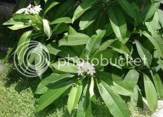 pokok daun kemboja