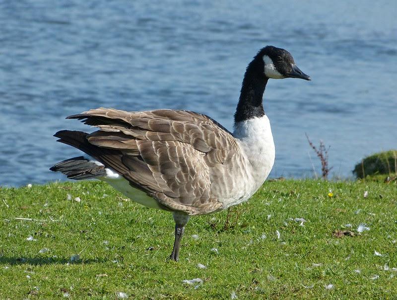 Canada Goose, Kenfig NNR