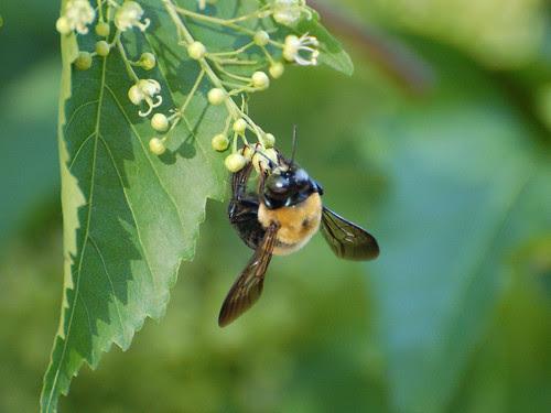 Morningside Bee