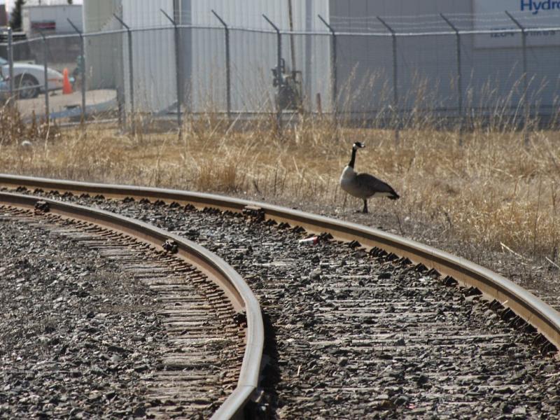 Canada Goose near tracks