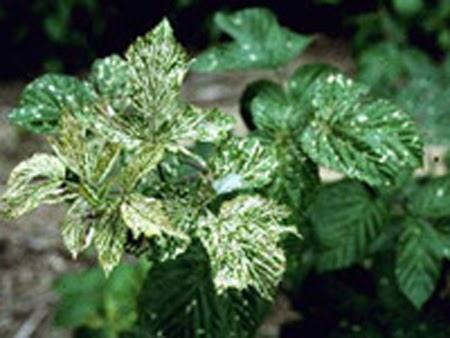 Raspberry Bush Leaves Have Holes