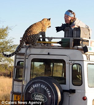 Just a pussy cat: The leopard just wanted to pose for the camera and did not attack the Russian photographers