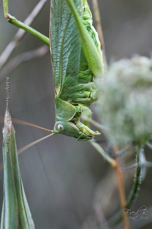 Tettigonia viridissima ♀