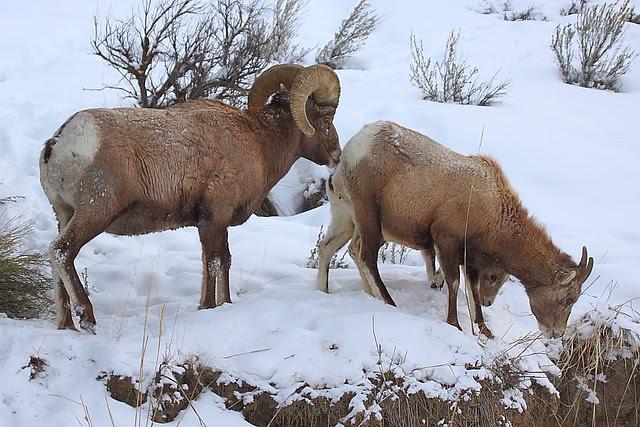 IMG_5144 Bighorn Sheep, Yellowstone National Park