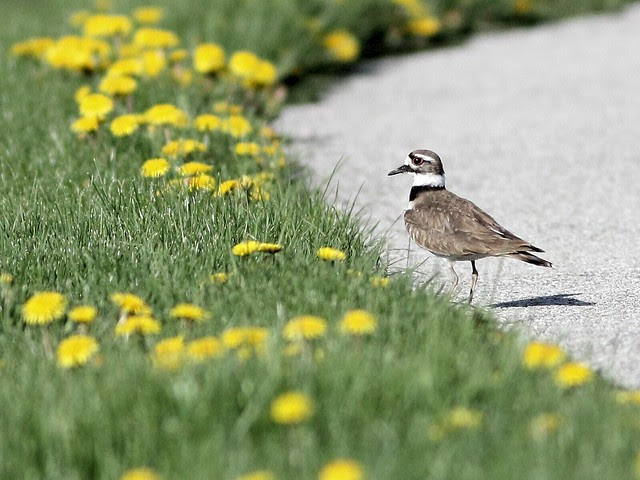 Killdeer 20130507