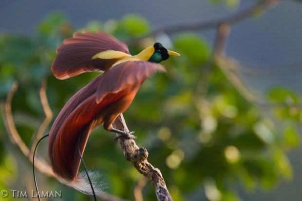 Red-Bird-of-Paradise-Paradisaea-rubra-620x412 (620x412, 44Kb)