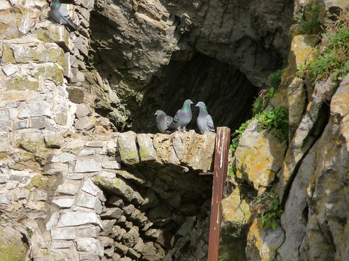11623 - Rock Doves at Culver Hole, Gower