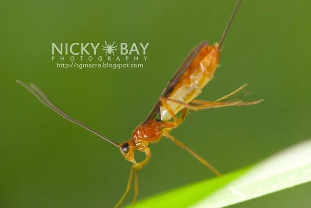 Ichneumon Wasp? (Ichneumonidae) - DSC_3597