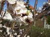 Aprikosenblüte (20110320_5691)